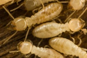 termites infesting a phoenix home in the dry rot of the wood. regular termite inspections will prevent long-term damage and allow phoenix home owners to get termite control and elimination services more quickly
