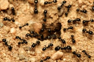 ant extermination phoenix ant removal phoenix ant control phoenix