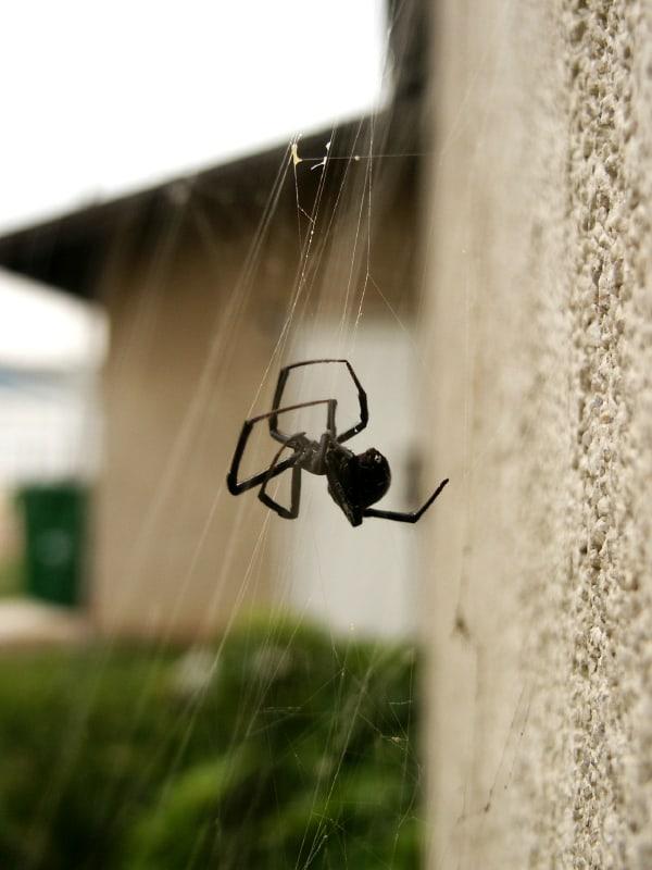 Black widow under roof