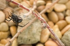 Black widow in garden