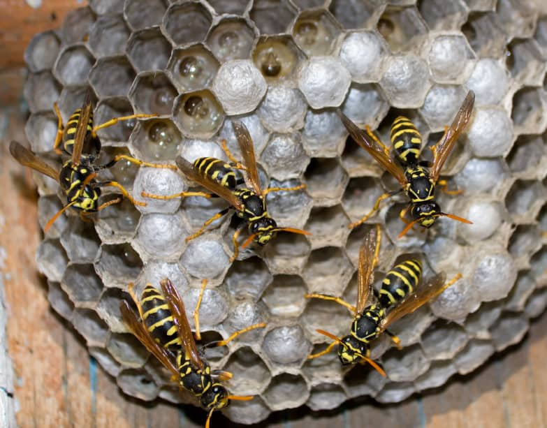 Wasp's nest