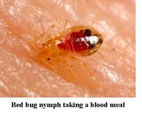 bed bugs infestations should be addressed quickly with bed bug extermination services