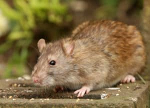 Professional Rodent Elimination is important for Phoenix homeowners.