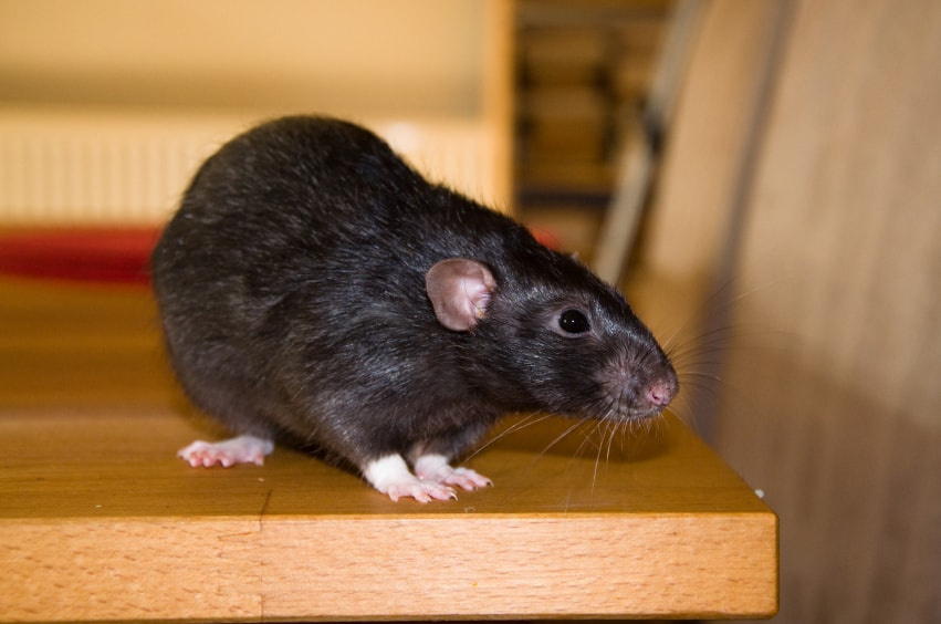 Roof Rat Prevention Tips For Your Phoenix Home 4 Is Gross