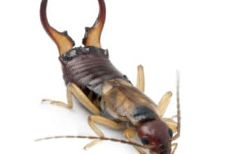 Picture of an earwig waiting to be exterminated by Budget Brothers Termite & Pest Elimination