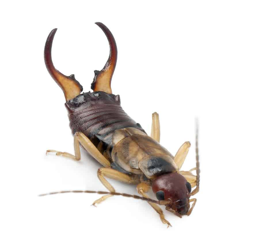 Simple Guide to Earwigs for Phoenix Homeowners