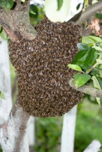 bee hive swarm prepping for the move of a hive in a phoenix backyard. this image is being used to represent the dangers of hive swarms and the need to call budget brothers termite and pest elimination to get rid of a bee hive swarm from your phoenix home