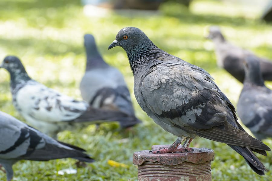 Keeping Pigeons and Nuisance Birds Out of Your Yard
