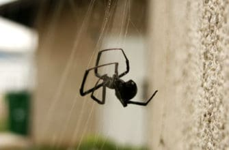 black widow spiders are a common nuisance in phoenix. call budget brothers termite for immediate service