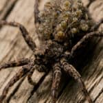 Wolf spider carrying babies. wolf spiders are common garden spiders. if you see a wolf spider or others in your phoenix home call budget brothers termite for immediate service
