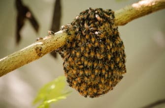 Little wild hive with africanized bees on tree.