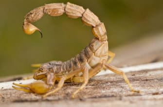 A bark scorpion ready to sting to show what to do if you get a scorpion sting