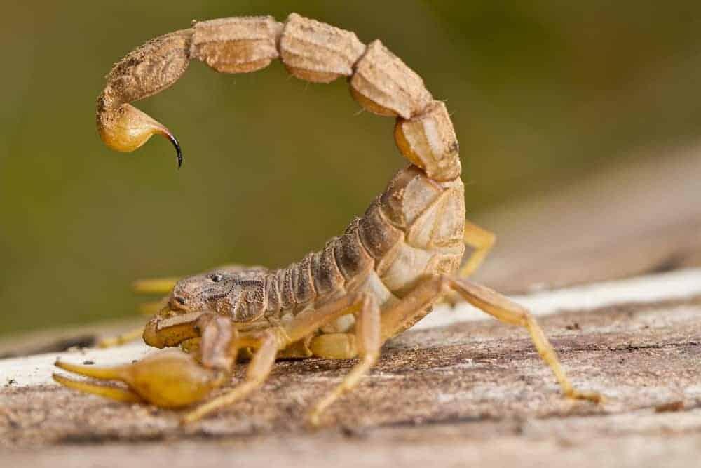 scorpion to scorpion