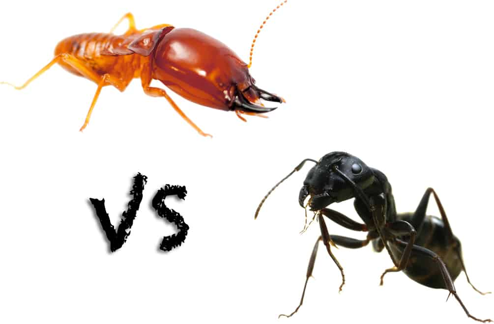 Ants Vs Termites Budget Brothers Termite