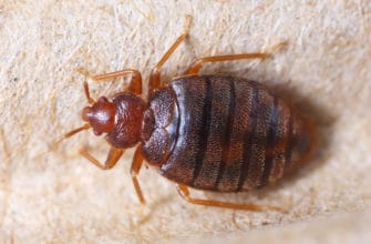 Identifying and Cleaning Bed Bugs