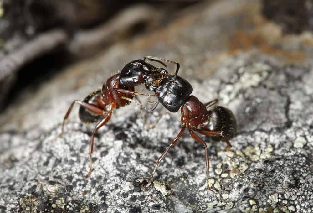 keep carpenter ants out of your home budget brothers termite