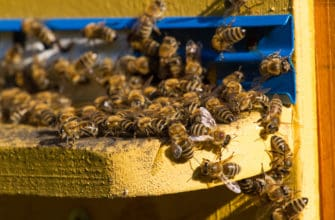 What makes killer bees attack?