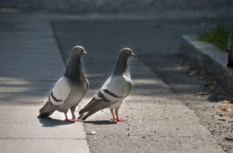 Are pigeons protected in Arizona?