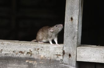 Common rodents in Arizona