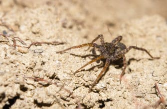 How dangerous is a wolf spider bite?