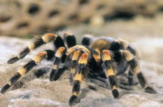 How much does a tarantula bite hurt?