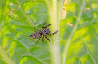 Identifying jumping spiders
