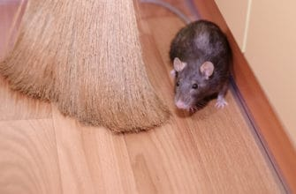 6 common questions and answers about mice in the house