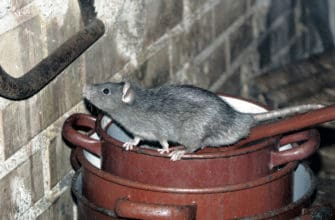 How to deal with roof rats in your Phoenix home