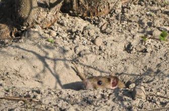 Common Arizona rats
