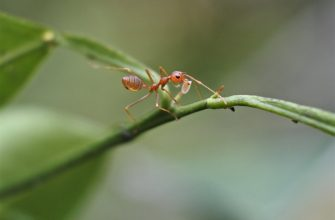 What is Taurus ant killer?
